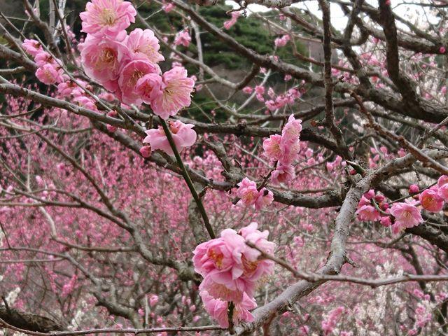 梅の香りに包まれます。_熱海梅園