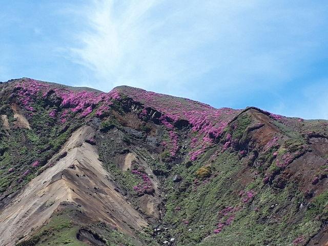 烏帽子岳山頂_阿蘇山上のミヤマキリシマ