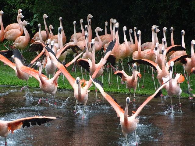 フラミンゴショー_宮崎市フェニックス自然動物園