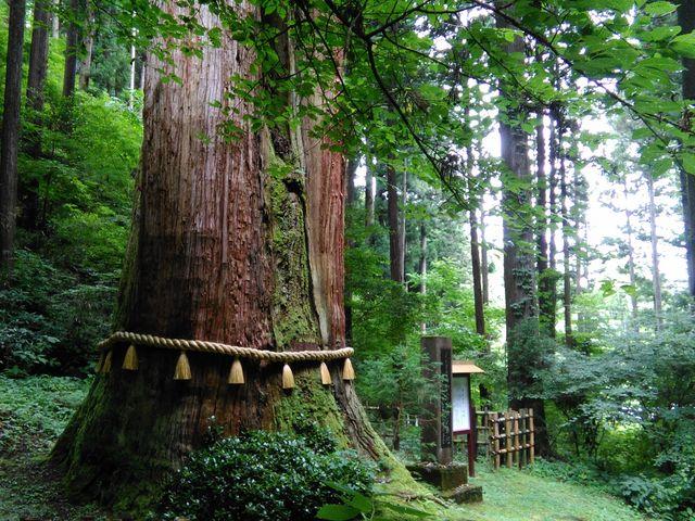 立派な杉_御岩神社