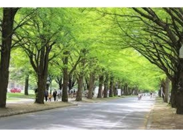 イチョウ並木_北海道大学