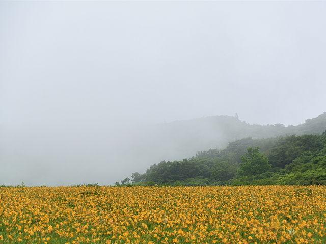 雨の中のニッコウキスゲ_雄国沼