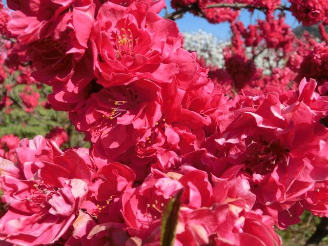 色鮮やかで明るい気分になれますよ。_飯坂温泉花ももの里