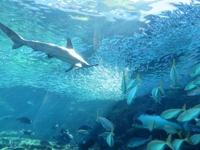 ハンマーヘッドシャークがイワシに近づく_九十九島水族館海きらら