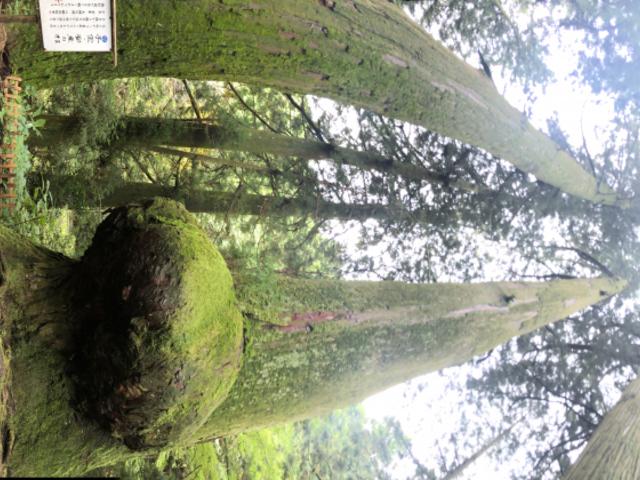 花園の大杉