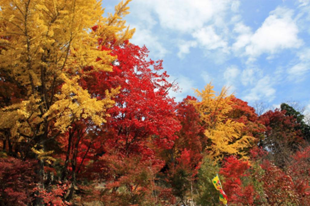 大井平の紅葉