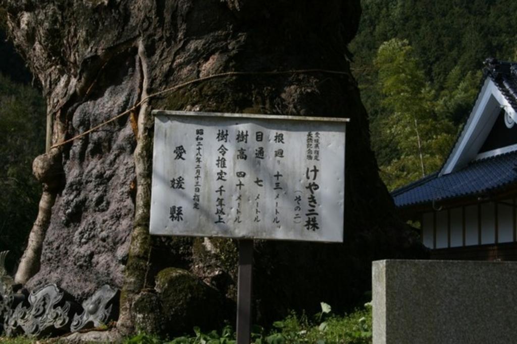 広瀬神社のケヤキ