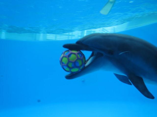 ボール遊びに夢中のイルカ_九十九島水族館海きらら