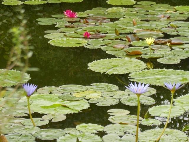 7月から9月がモネのスイレンを鑑賞するベストシーズンです。色とりどりのスイレンはとてもきれいです。_北川村「モネの庭」マルモッタン