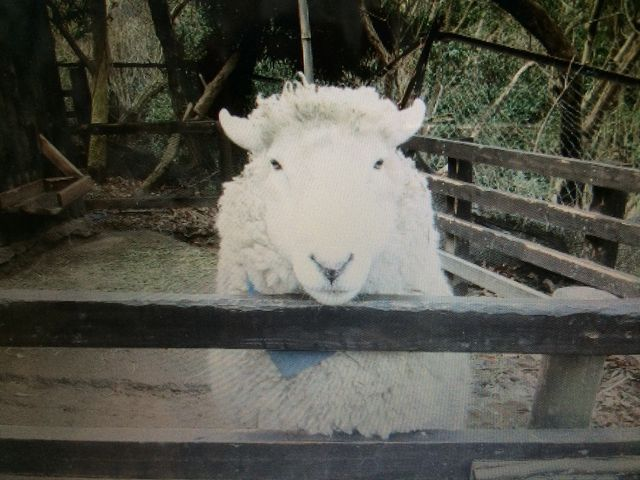 羊のウール君_長崎バイオパーク