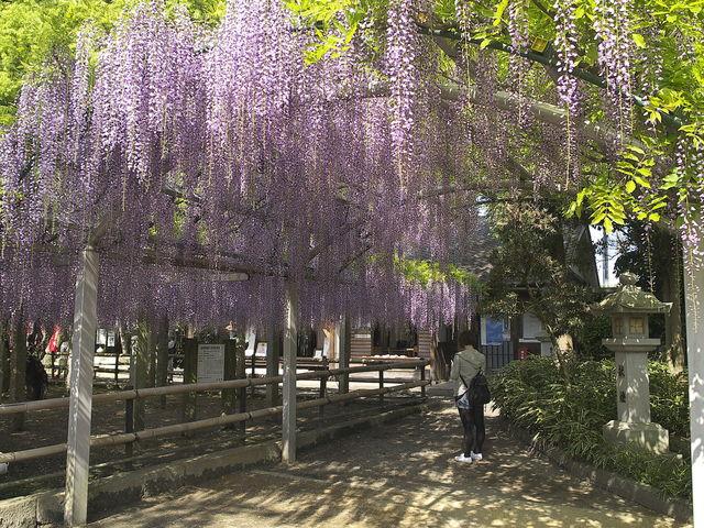 三大神社の砂擦りの藤_三大神社の砂擦りの藤