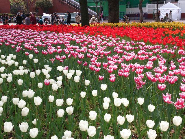 チューリップのじゅうたん_横浜公園のチューリップ