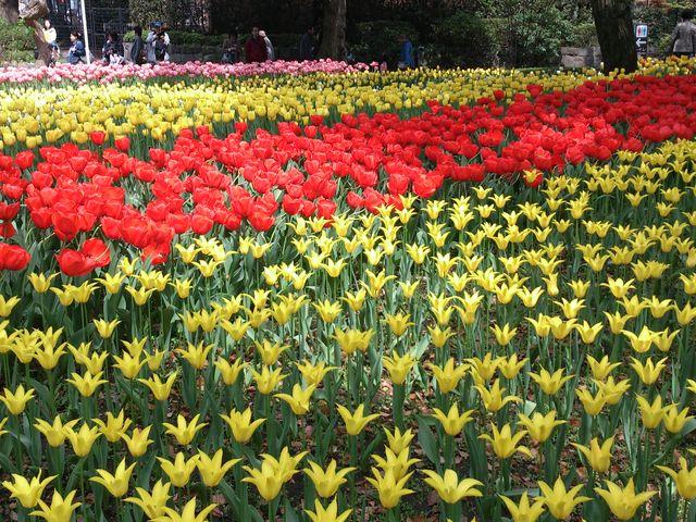 色も種類もいっぱい_横浜公園のチューリップ