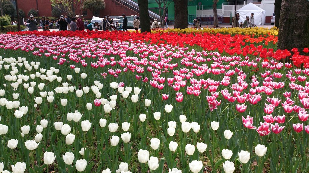 横浜公園のチューリップ