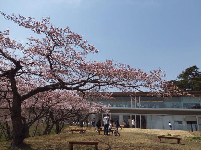 ガラス張りのカフェからも桜が見れます_西行戻しの松公園の桜