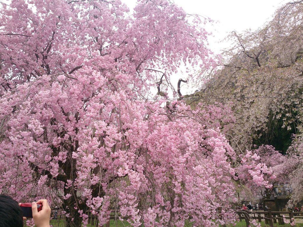 秩父清雲寺のしだれ桜