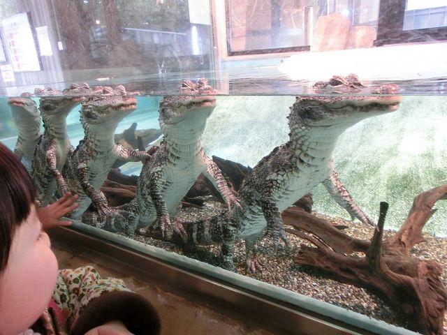 ワニトレイン_神戸市立王子動物園