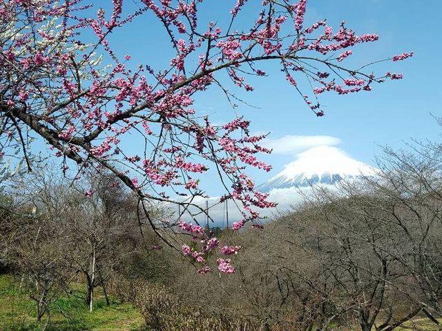 満開時期は過ぎてしまった後ですが、とても満足な風景が見られました!!_岩本山公園