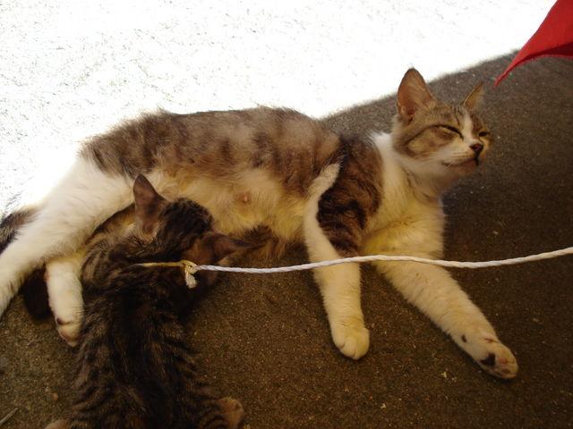 おっぱいを飲む子猫。カワユス。_宝当神社