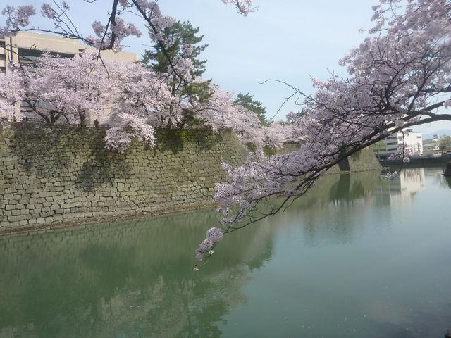 お堀と石垣と桜_福井城址