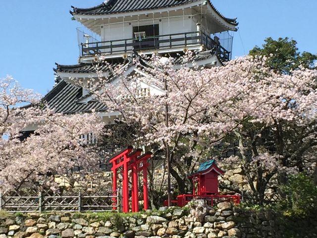 お城と桜がベストマッチ_浜松城