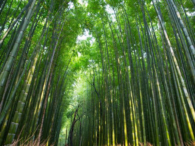 まっすぐに続く竹林の道_竹林の道