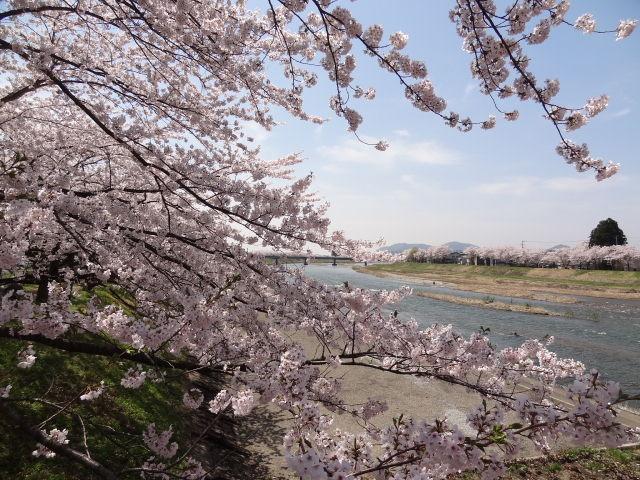 桜2_桧木内川堤の桜並木