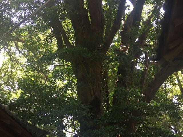 樹齢300年です。_吉佐美八幡神社