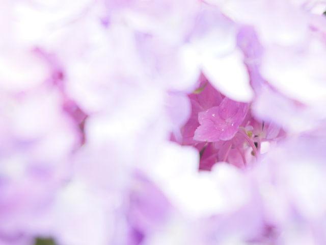 紫陽花_三室戸寺のアジサイ