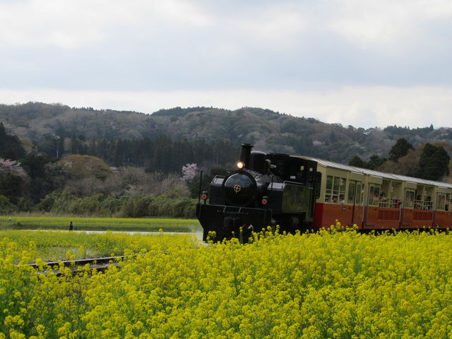 菜の花とトロッコ列車_いすみ鉄道