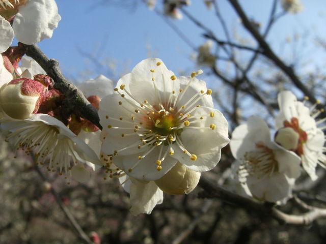 白梅_後楽園の梅・桜・ツツジ