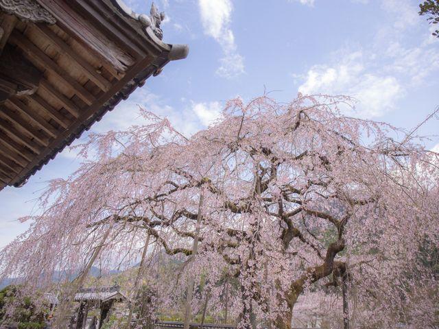 しだれ桜に、300年の歴史を感じます。_明王寺しだれ桜