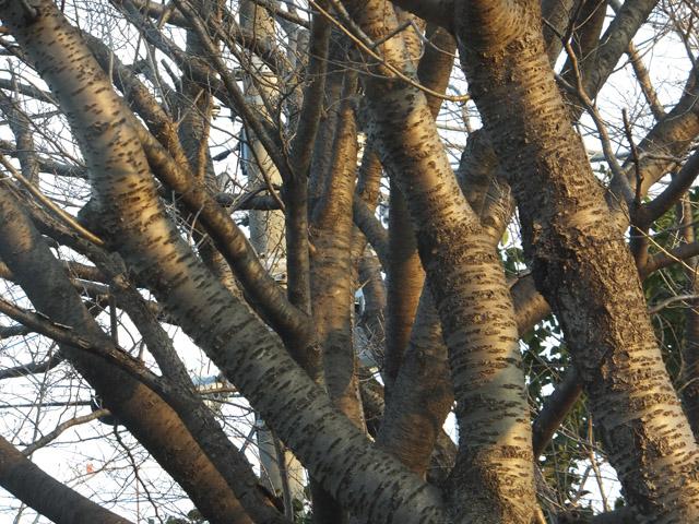 冬の桜の幹は太くて立派です。_弘道館公園