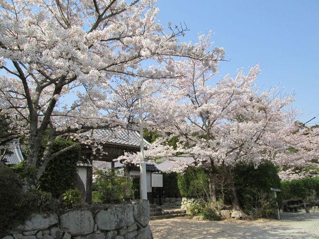 桜_桃林寺