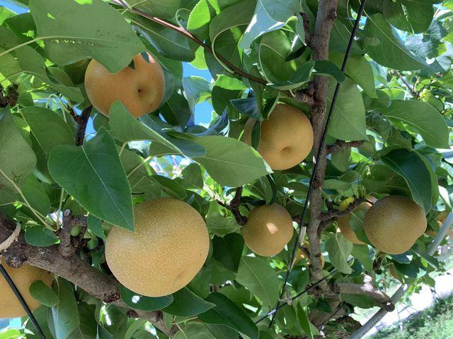 みずみずしい梨です。_山田農園
