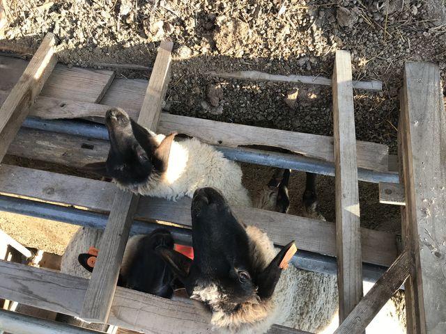 ヤギも羊も馬も、柵から顔を出してお出迎えしてくれます。_山元夢ファーム