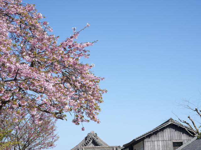 仙巌園の桜_仙巌園