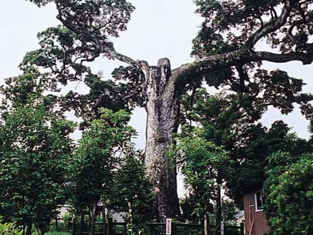 石神神社 オガタマの木