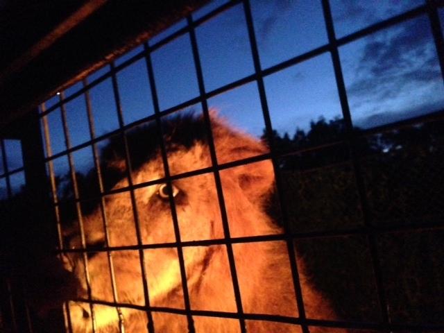 夜のライオン_九州自然動物公園アフリカンサファリ