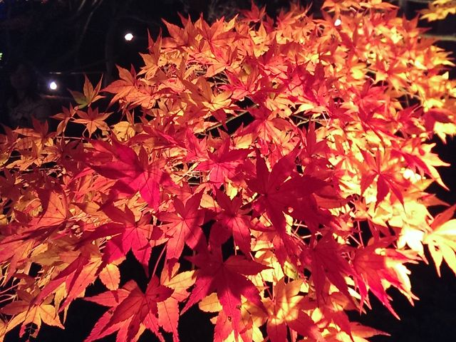 ライトアップされた紅葉が輝いていました_修善寺虹の郷