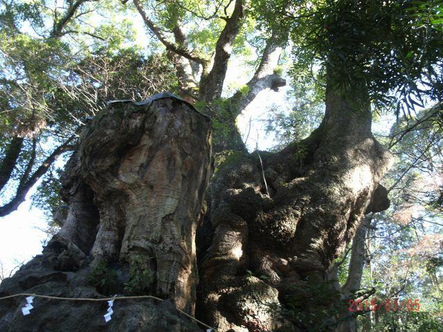 樹齢2000年超_来宮神社の大楠