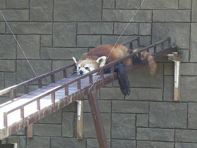 暑さが苦手な動物の一つレッサーパンダ_浜松市動物園