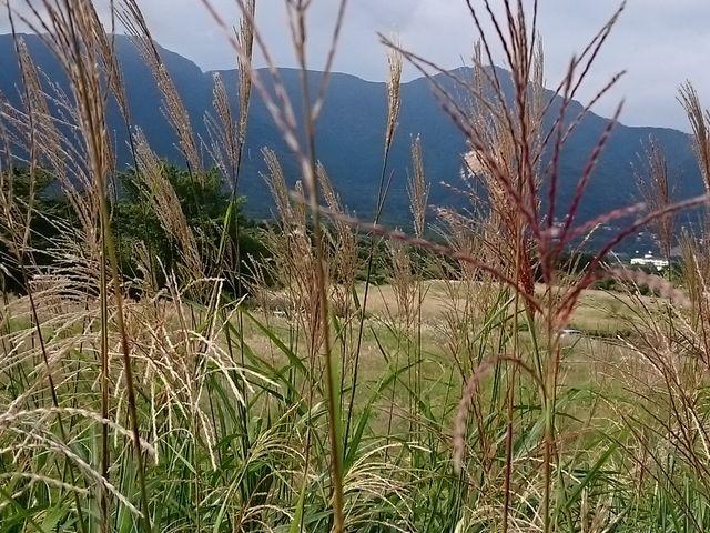 すすき3_仙石原高原