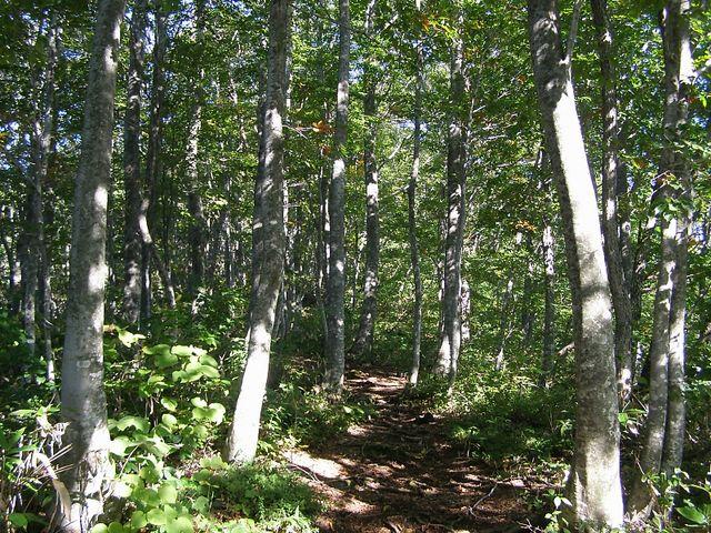 ひるがの高原ルートは美しいブナ林の中を登る_大日ヶ岳