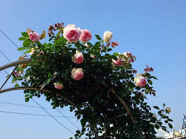 ピエルドロンサール_日本ライン花木センター