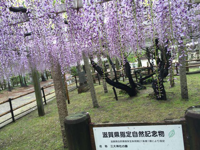 綺麗な藤棚でした~♪_三大神社の砂擦りの藤
