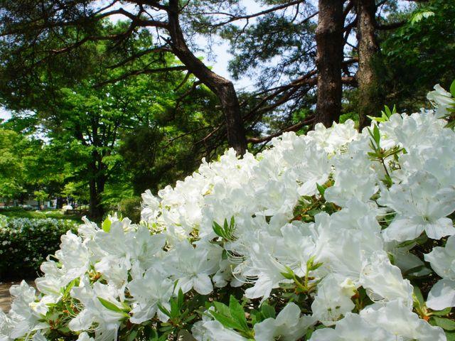 松ヶ池公園の白つつじ松ヶ池公園の白つつじ