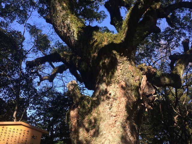 樹齢1000年_熱田神宮