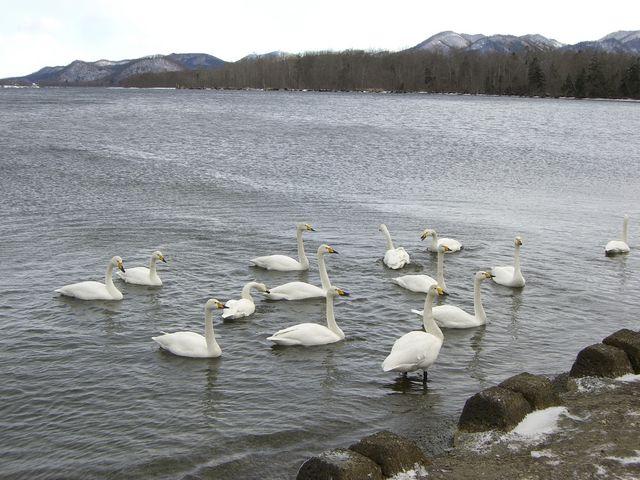 砂湯の近くは温かいので、このように白鳥さんの溜まり場です_屈斜路湖