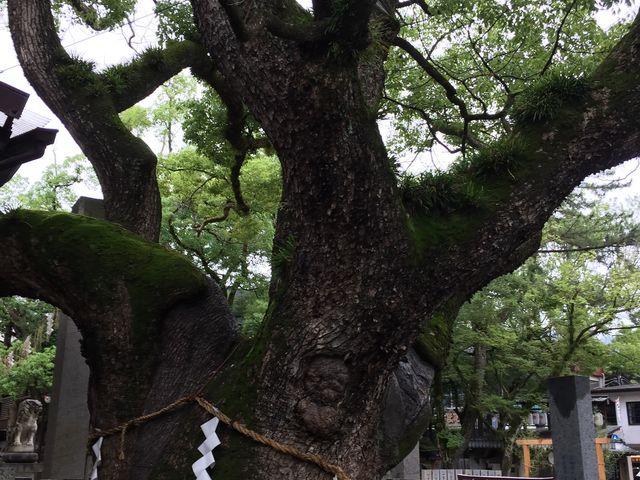 大きな神木があります。_石切神社参道